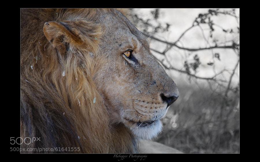 male lion, moremi game reserve, okavango delta, botswana