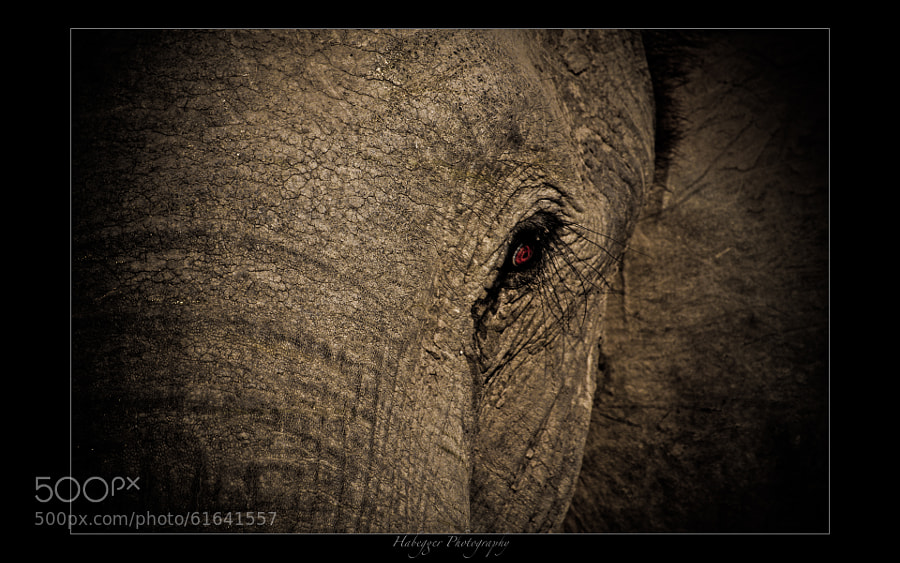 portrait of an old elephant, okavango delta, botswana