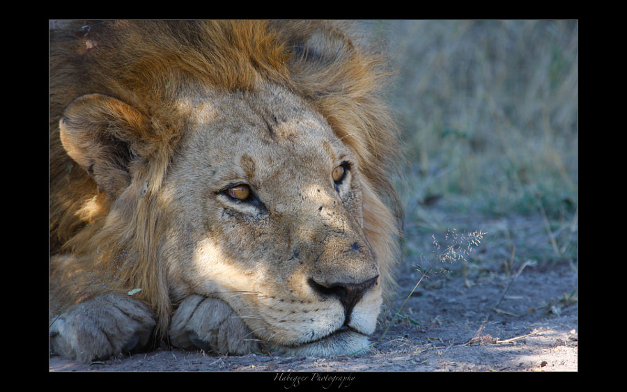 male lion resting in the shade of a small bush, okavango delta, botswana