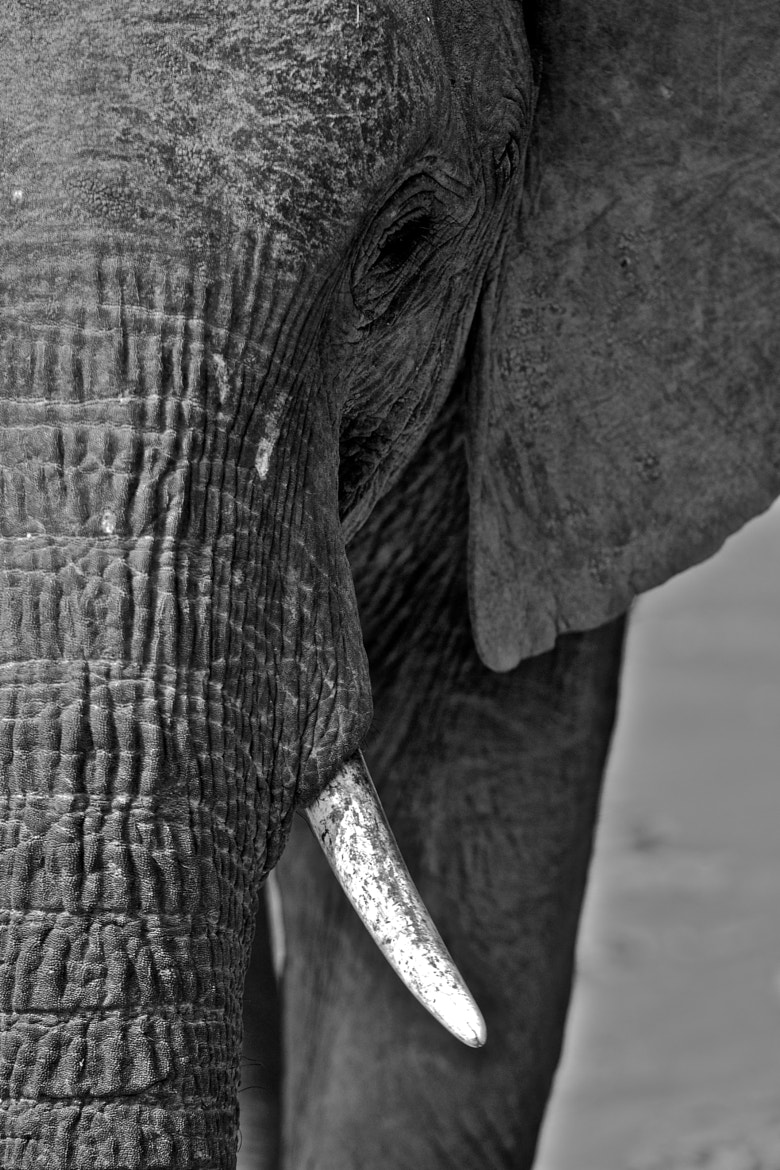 Photograph South Luangwa African Elephant by Seb Loram on 500px