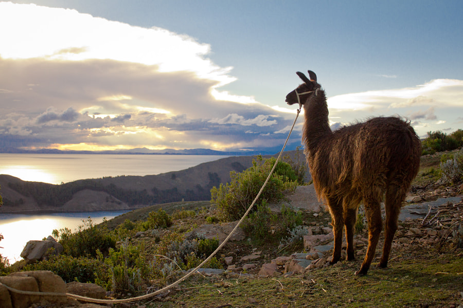 Photograph Llama - Sunset at Isla del Sol by Renato (Miagui) Aoki on 500px