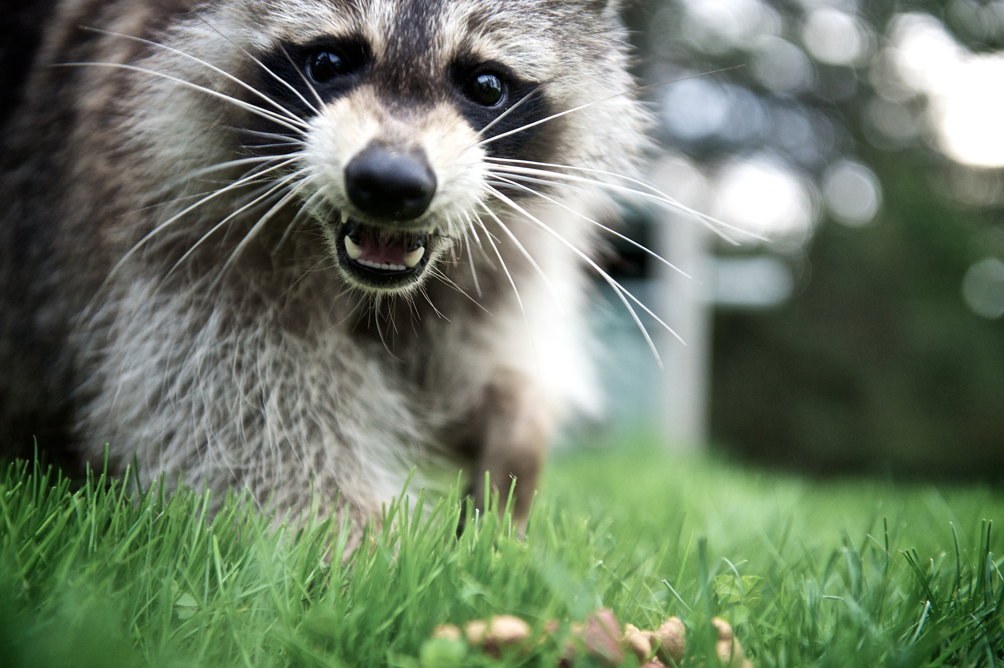 Photograph Boo the Raccoon*7437 by Mark Shannon on 500px