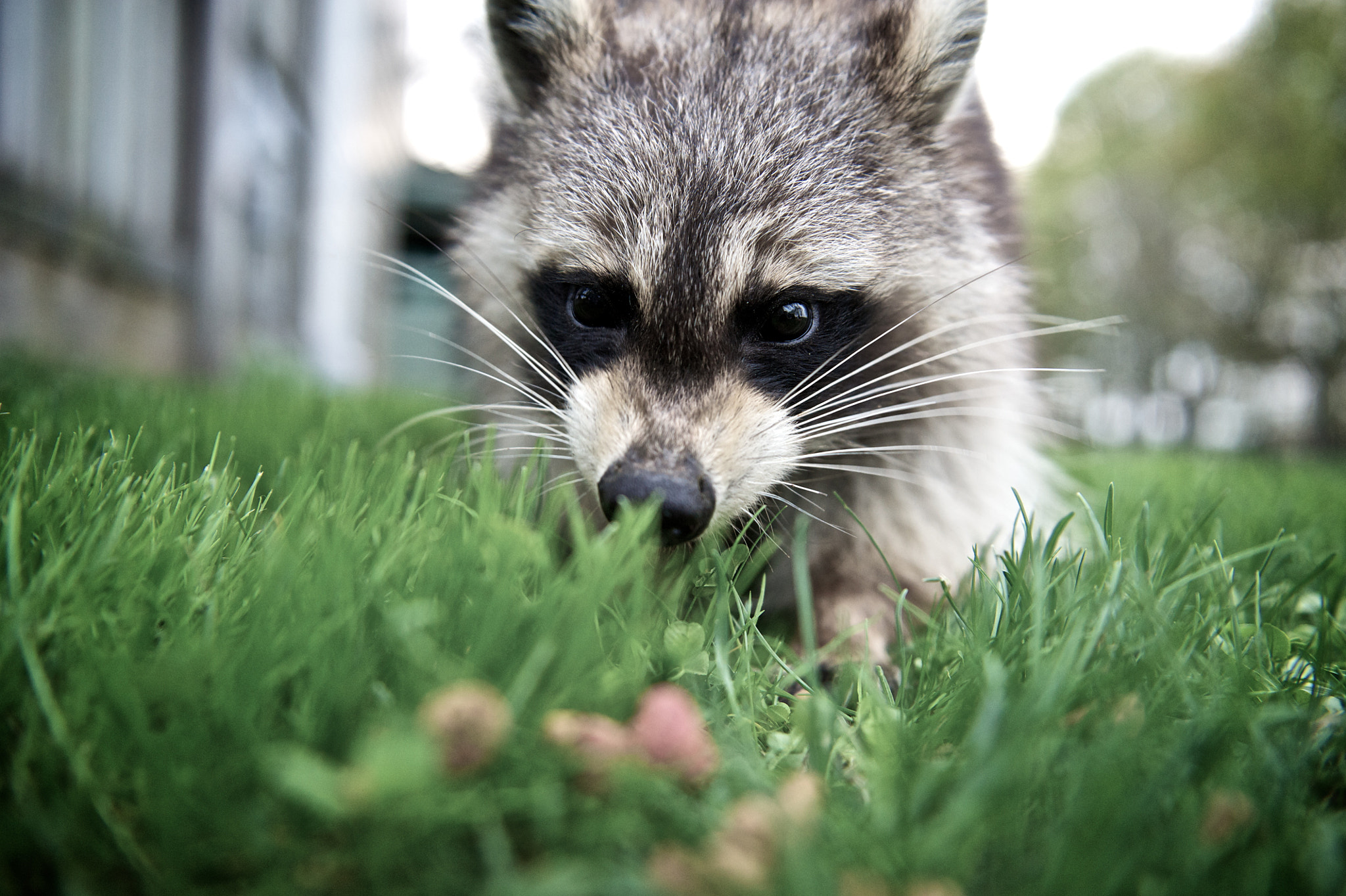 Photograph Boo the Raccoon*7485 by Mark Shannon on 500px