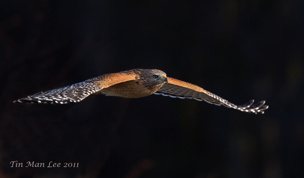 Photograph Hawk from Darknes by Tin Man on 500px