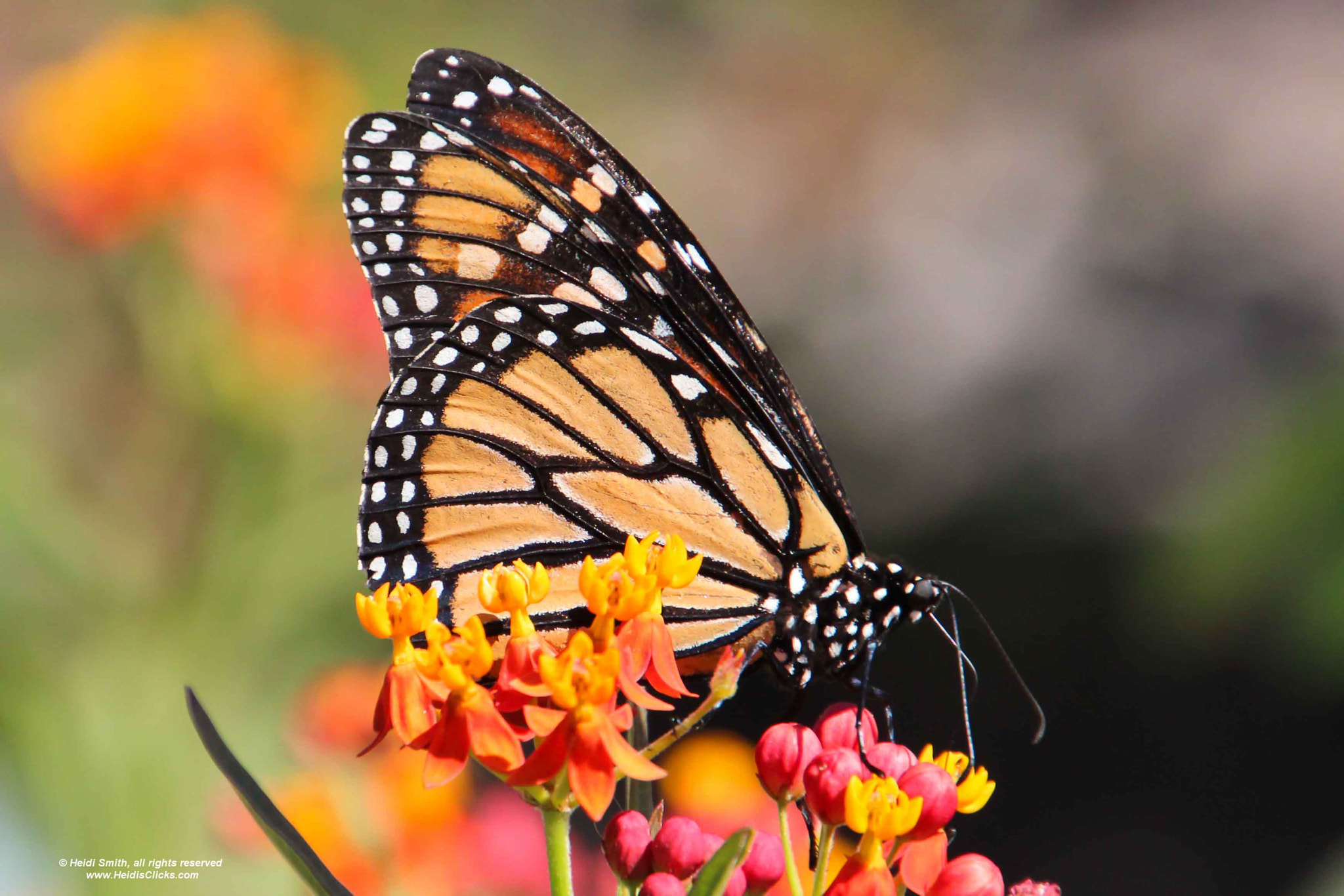 Photograph Monarch and Milkweed by Heidi Smith on 500px