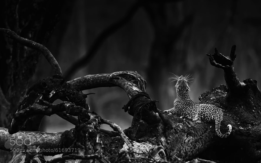 Photograph Leopard - bw collection by Stephan Tuengler on 500px