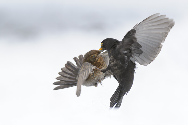 Photograph Blackbirds fighting in the snow by Andrew Mason on 500px