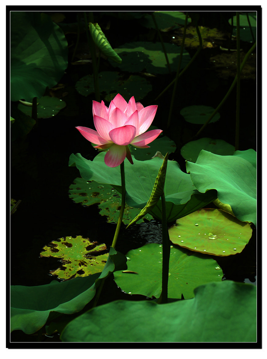 Photograph Beautiful Red Lotus by Sherman C. on 500px