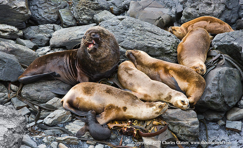 Photograph Southern Sea Lion Family by Charles Glatzer on 500px