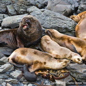 Southern Sea Lion Family by Charles Glatzer (Chas)) on 500px.com