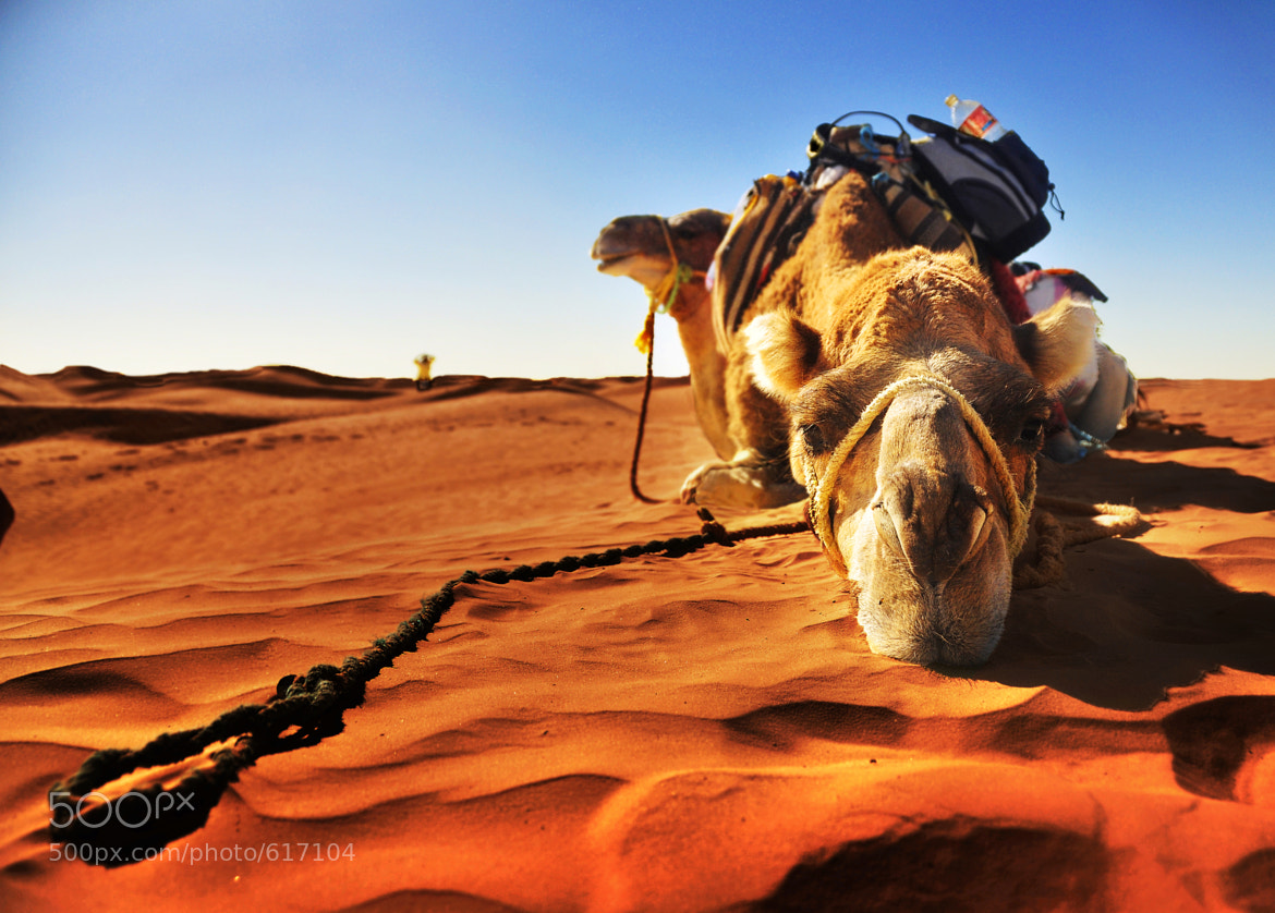 Photograph Camel take some rest by Siriwit Pewon on 500px