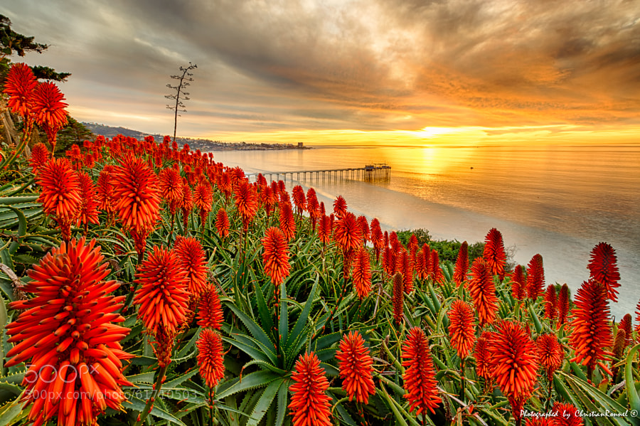 Photograph Dance of the aloes on a warm winter day... by Christian Ronnel  on 500px
