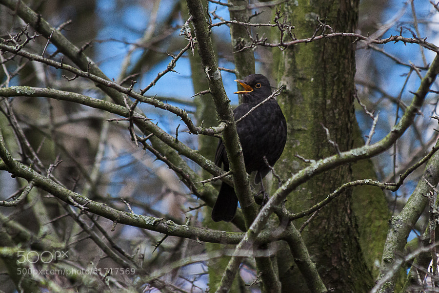 Photograph Blackbird. by Katie Halsall on 500px