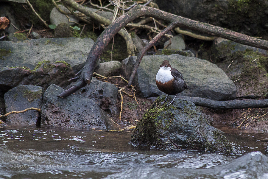 Photograph Dipper. by Katie Halsall on 500px