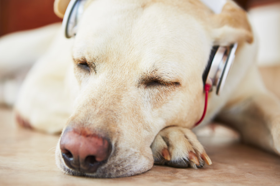 Dog is listening music by Jaromír Chalabala on 500px.com