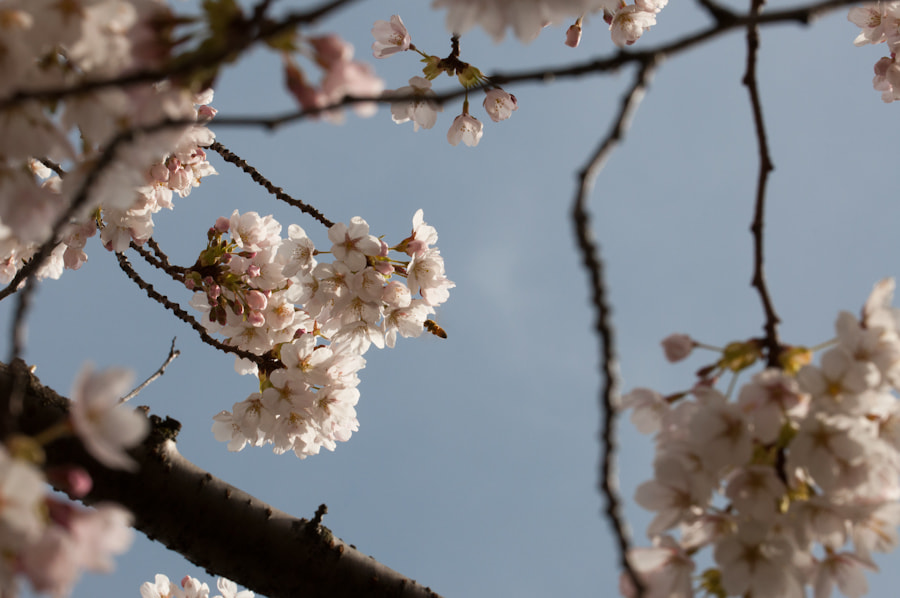 Photograph Bee and Cherry  Blossom by Luis Rodriguez Ochoa on 500px