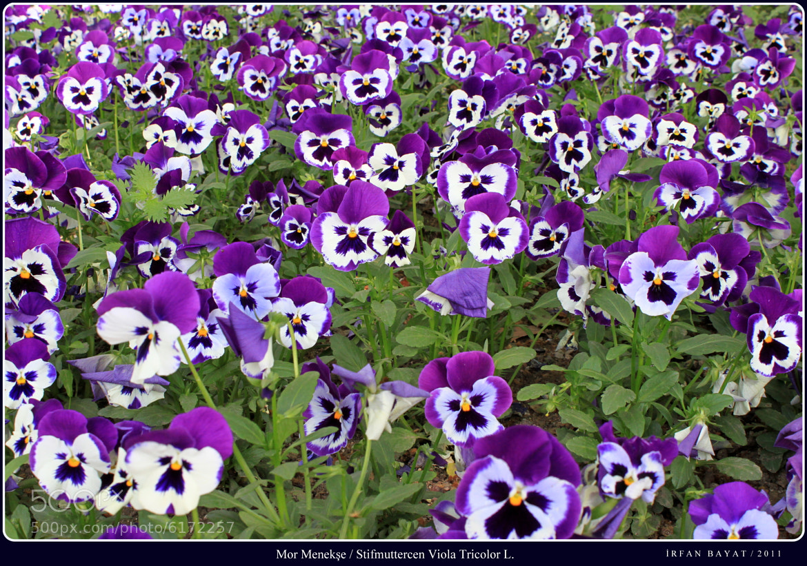 Photograph Stifmuttercen Viola Tricolor L. by İrfan Bayat on 500px