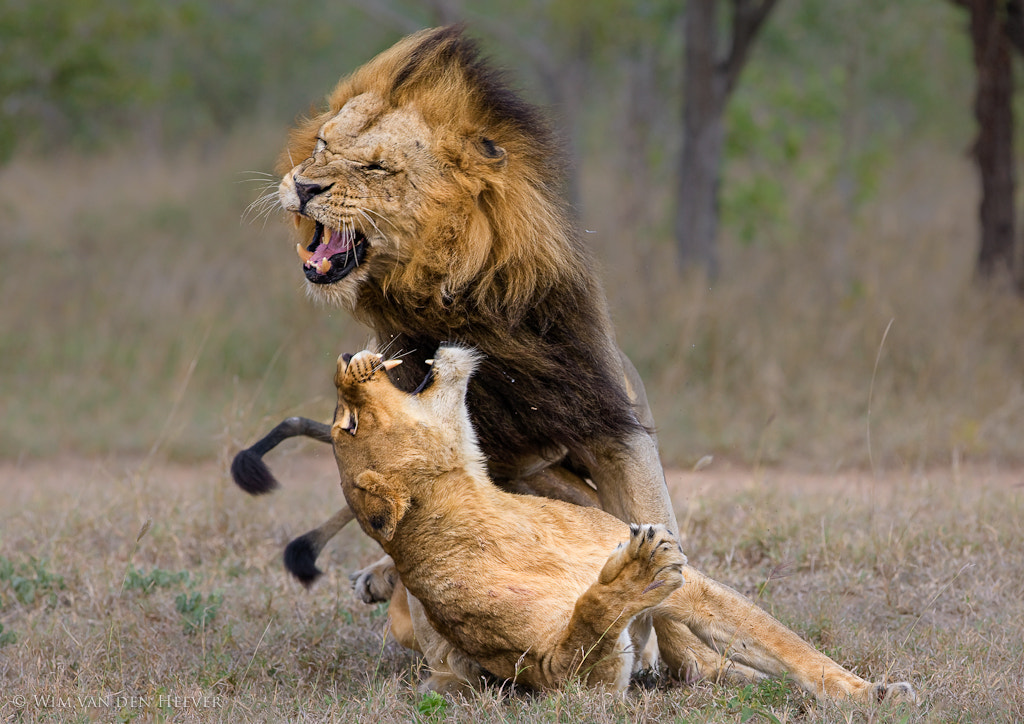 Photograph Lion Aggression by Wim van den Heever on 500px