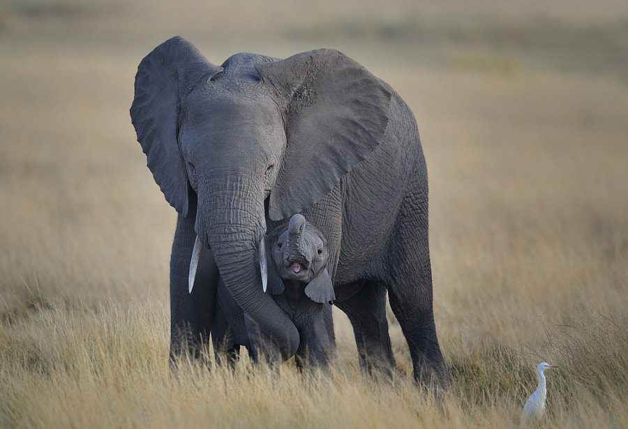 Brave Baby elephant protected by Mother