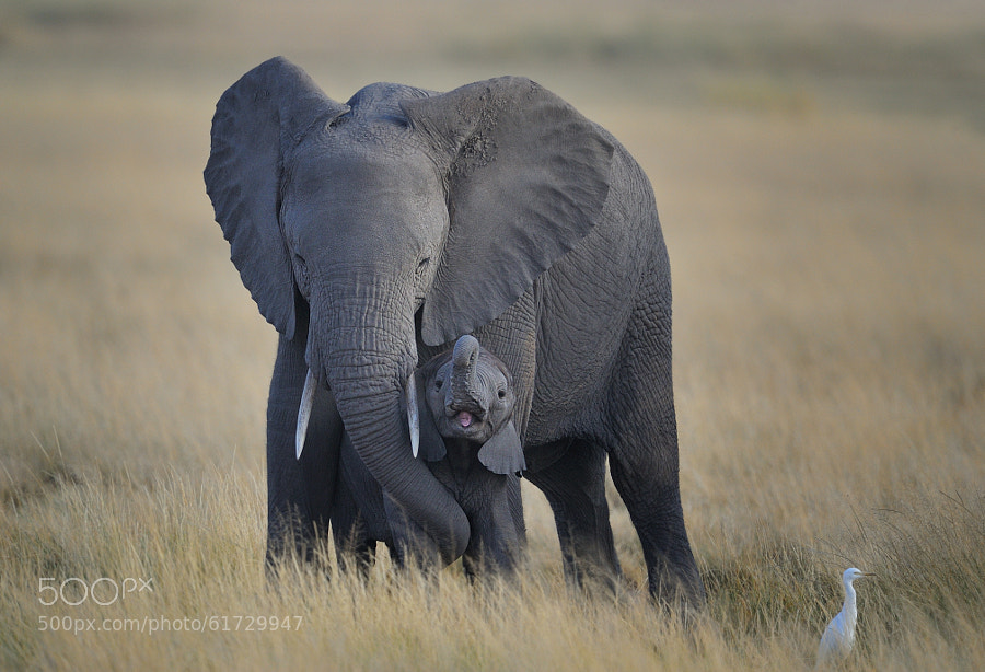 Photograph Baby Elephant and Mother, Amboseli National Park, Kenya, East Africa by Diana Robinson on 500px