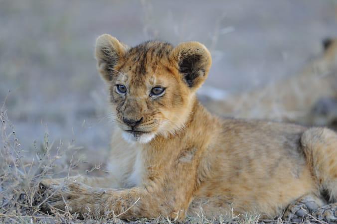 Lion Cub, Kenya, East Africa