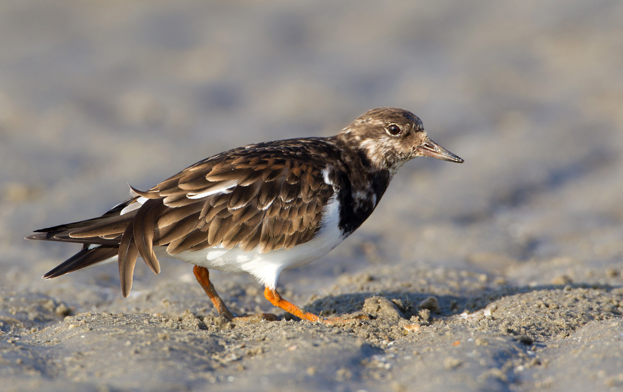 Photograph Turnstone by Siebe Wiersma on 500px