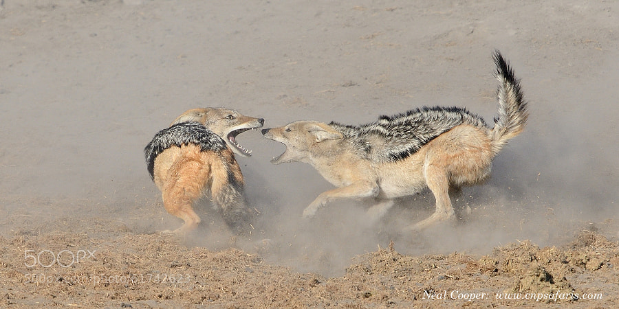 Photograph Fighting Jackals by Neal Cooper on 500px