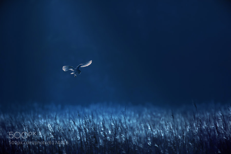 Barn Owl Blues - Capturing the Light - Ultimate Tips and Examples