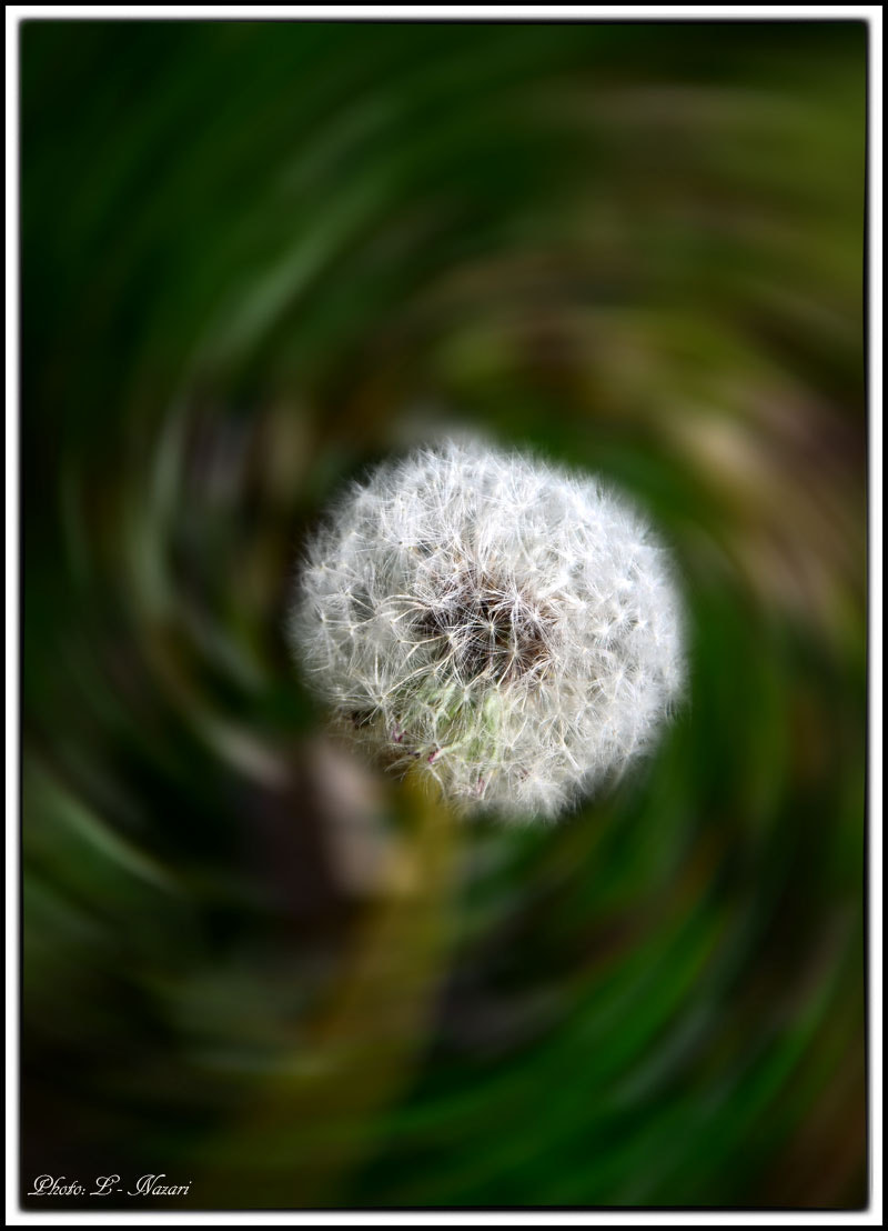 Photograph Taraxacum قاصدک   by leila nazari on 500px