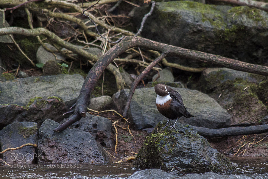 Photograph Dipper preening. by Katie Halsall on 500px