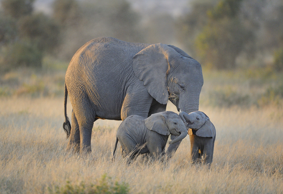 Photograph Twin Baby Elephants, East Africa by Diana Robinson on 500px