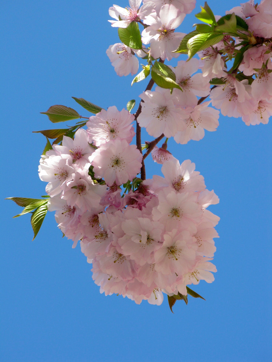 Photograph Cherry Blossom Time by Peter Vangeen on 500px
