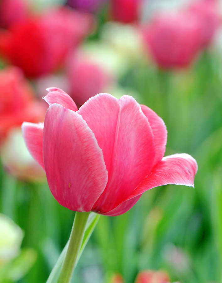 Photograph Focus on Tulips by Mike Oberg on 500px