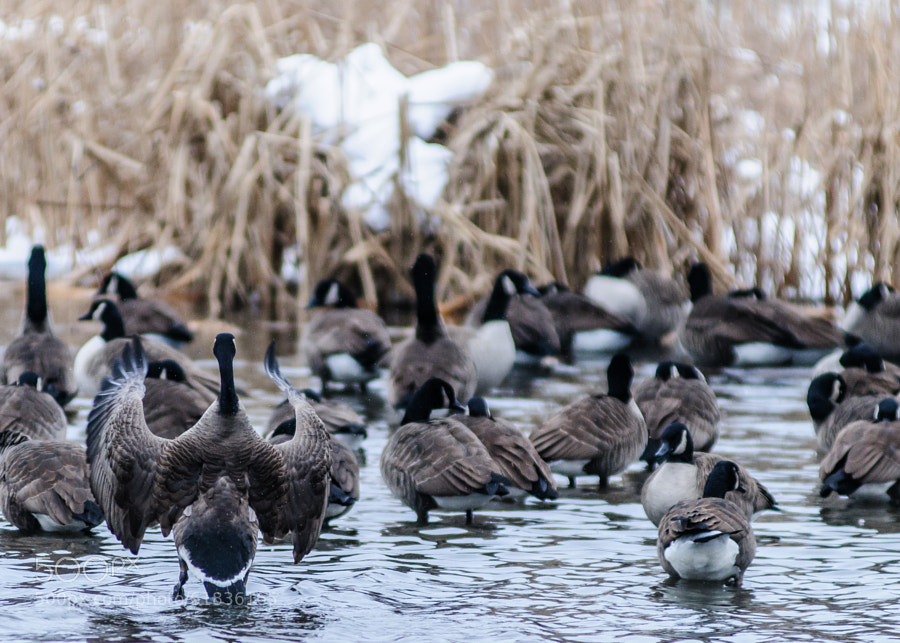 It almost looks like the snow in the weeds is giving a class on exercises.  At least one goose is taking it seriously.