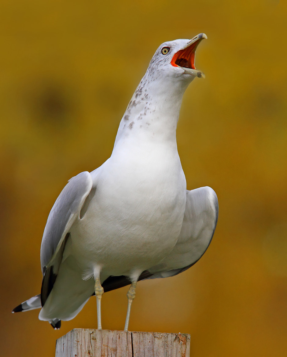 Photograph Seagull cry by Jim Cumming on 500px