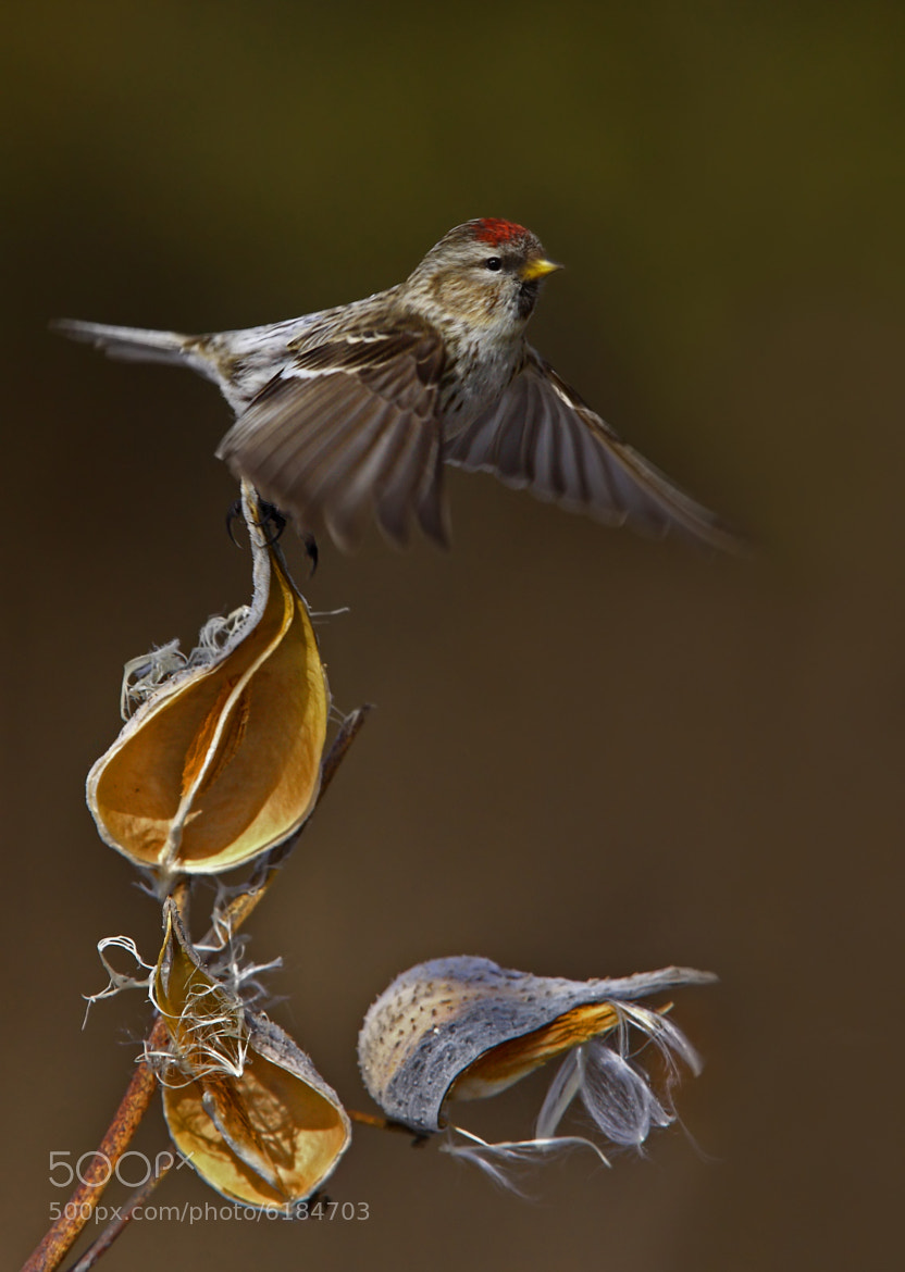 Photograph Red-poll  by Jim Cumming on 500px