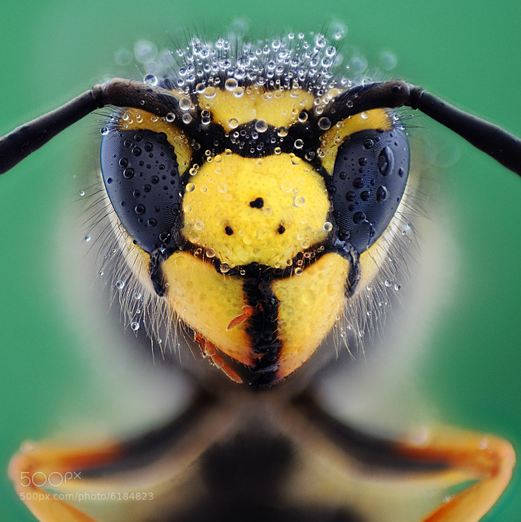 Wasp by soheil shahbazi on 500px.com