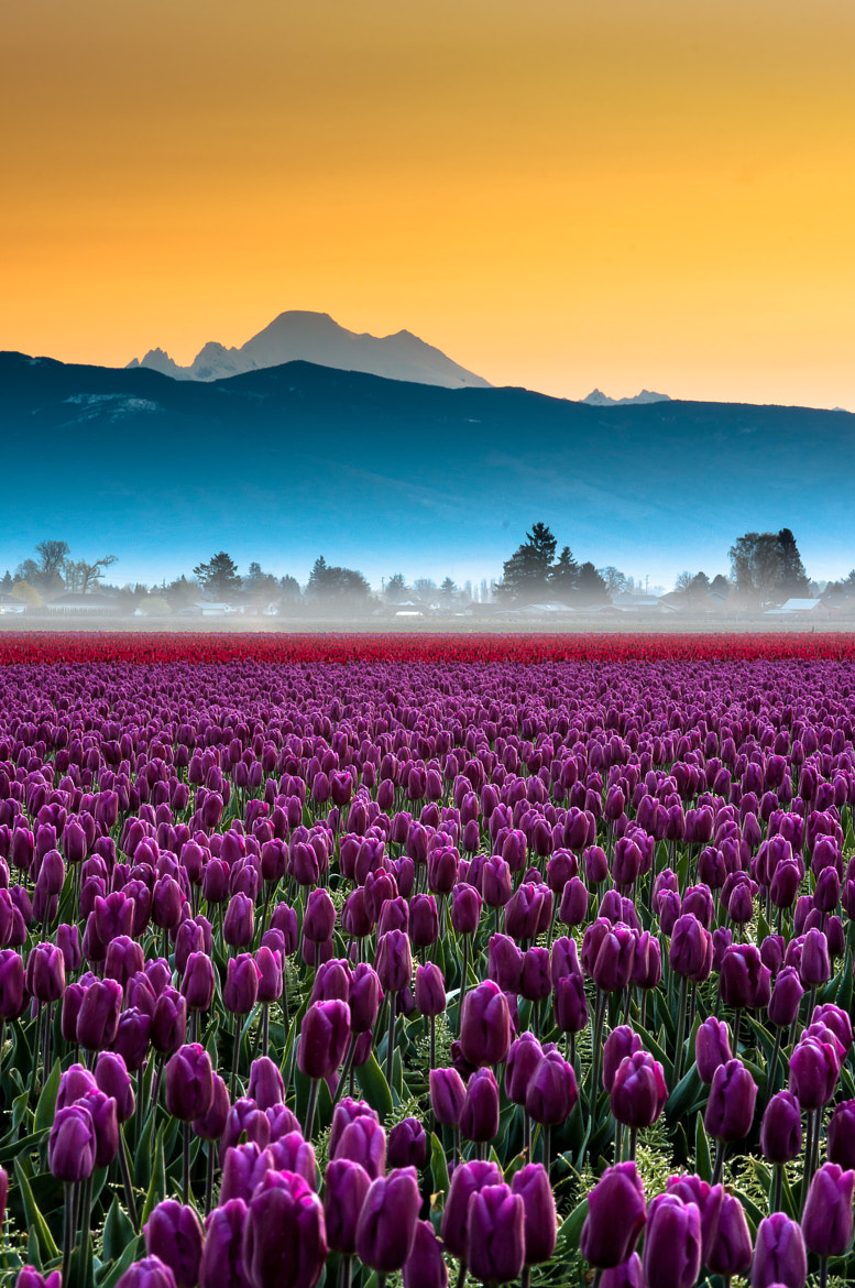 Photograph Skagit Valley Tulips and Mt Baker Portrait by Kevin Hartman on 500px