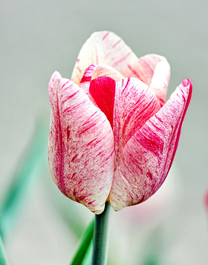 Photograph Striated Tulip by Mike Oberg on 500px