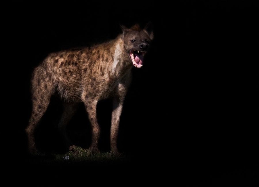 Hyena on the hunt
