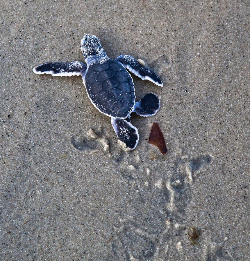 Baby turtle on the way to the sea