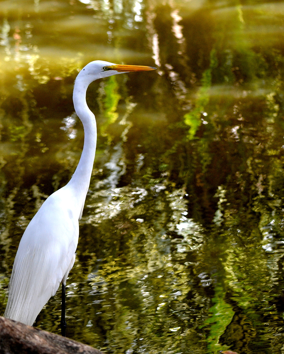 Photograph Great egret by Susan Fisher on 500px