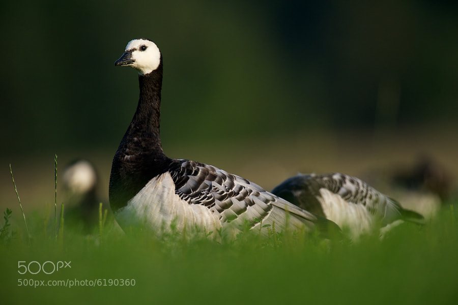 Photograph Barnacle Goose by Sami Maisniemi on 500px
