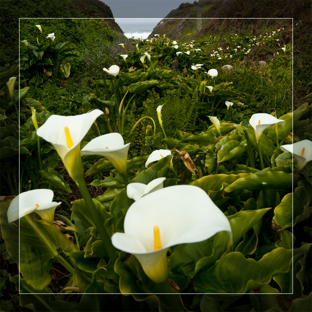 Photograph Calla Lily, Big Sur by shifting on 500px