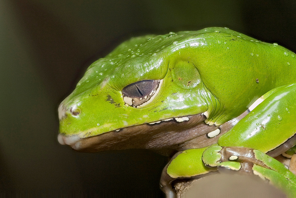 Photograph Green Frog by Miguel Angel Leyva on 500px