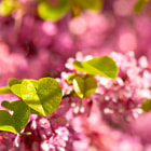 Постер, плакат: Judas Tree Flower And Leaves