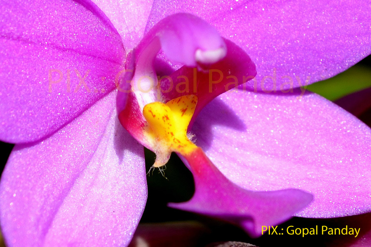 Photograph Pink Orchid by Gopal Panday on 500px