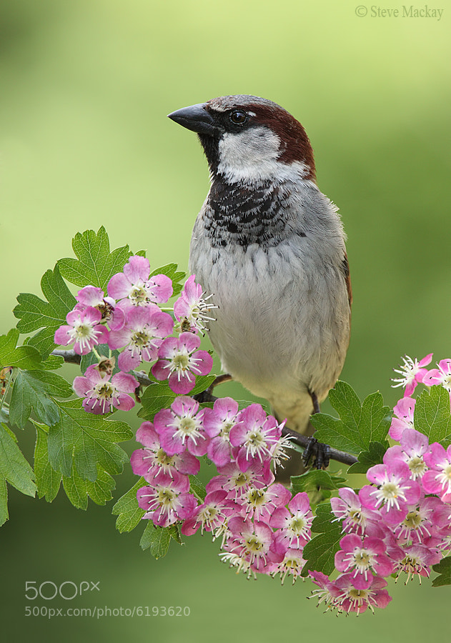 Photograph Sparrow on Pink Hawthorn by Steve Mackay on 500px