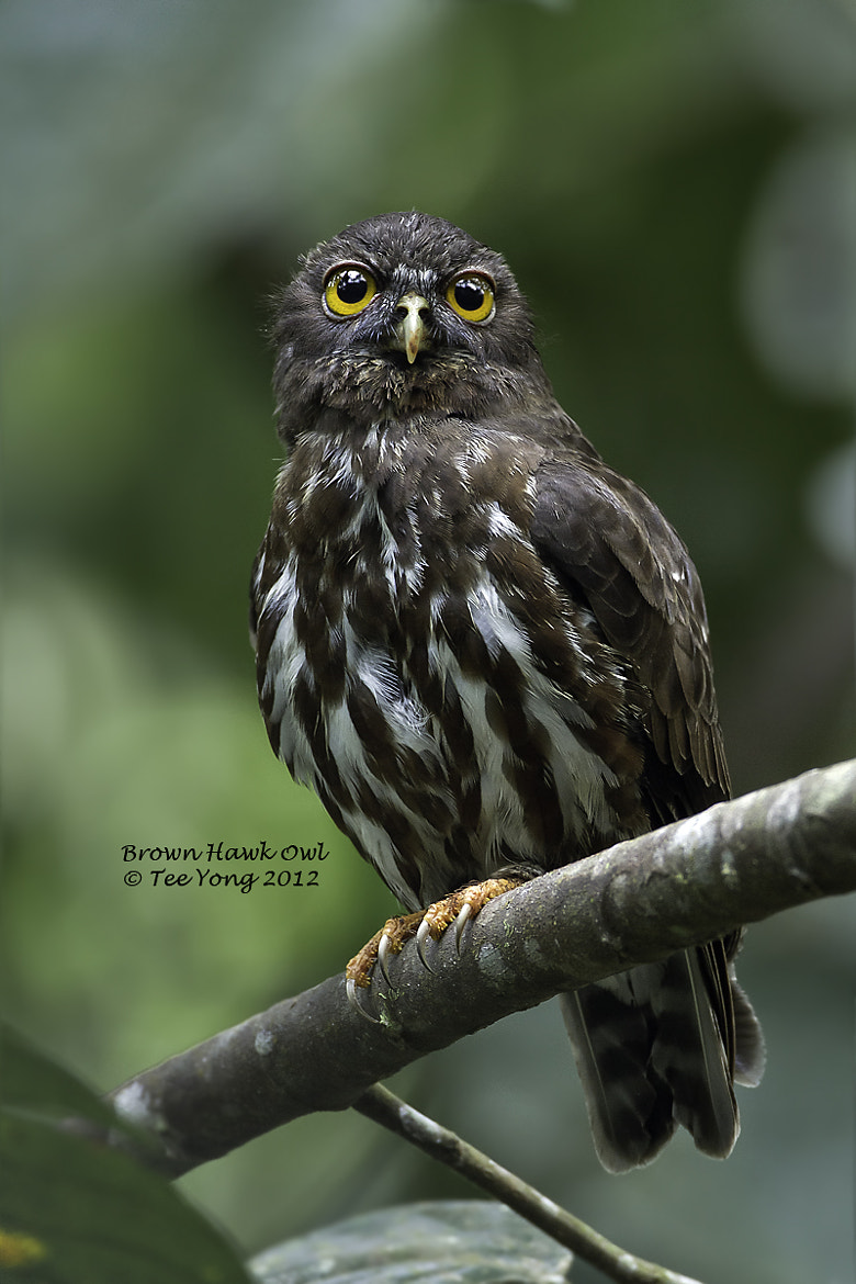 Photograph Brown Hawk Owl by TeeYong on 500px