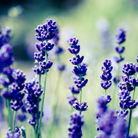 Lavender by David Asch (DavidAsch)) on 500px.com